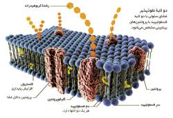 دانلود تحقیق غشای سلولی